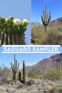 The saguaro cactus of the Sonoran desert: a symbol of the American west and a familiar feeling when returning to Arizona #Arizona #saguaro