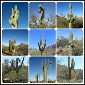 Assorted saguaros