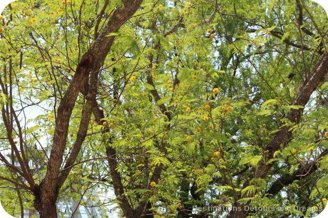 Huisaache tree in bloom