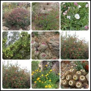 Arizona-Sonoran Desert Museum flowers