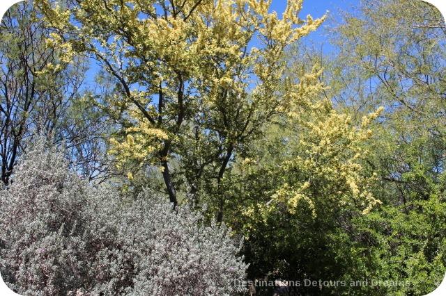 Blackbrush acacia in bloom