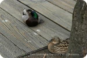 Ducks on Granville Island