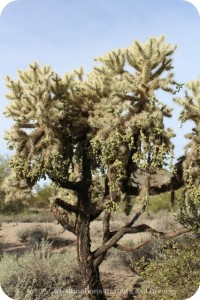 Chainfruit cholla at Usery Mountain Park