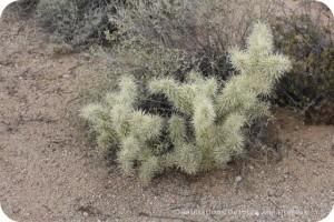 Cholla on Desert Plant Walk at Usery Mountain Park
