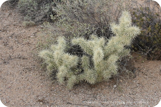 Cholla on Desert Plant Walk at Usery Mountain Park
