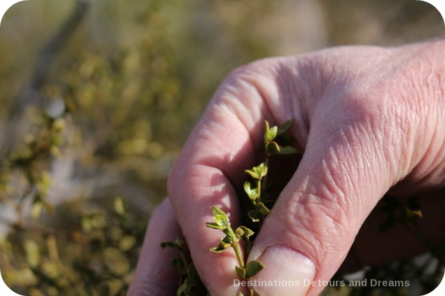 Waxy creosote leaves