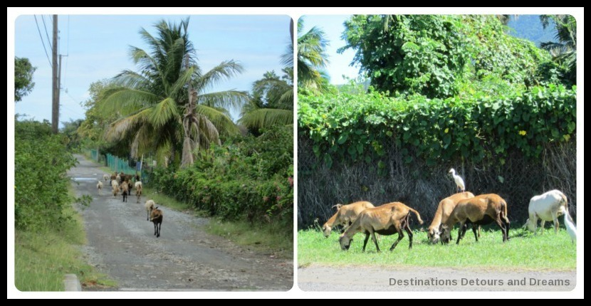Donkeys and goats in Nevis