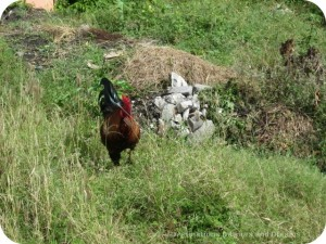 Roosters in Charletown's back allies, Nevis