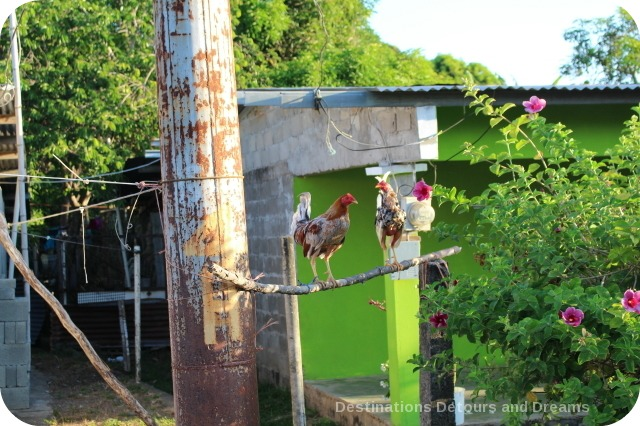 Chickens in Pedasi