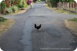 Chicken in Pedasi road