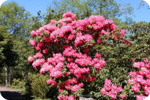 Rhododendrons at Mendocino Botanical Gardens