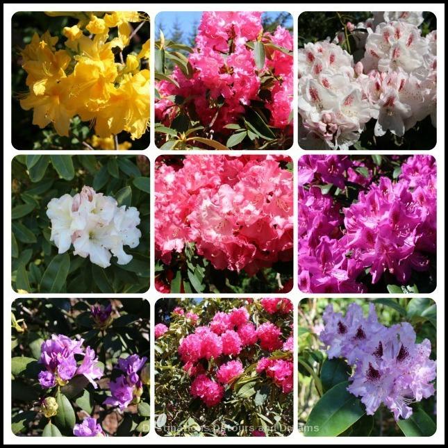 Rhododendrons at Mendocino Coast Botanical Gardens