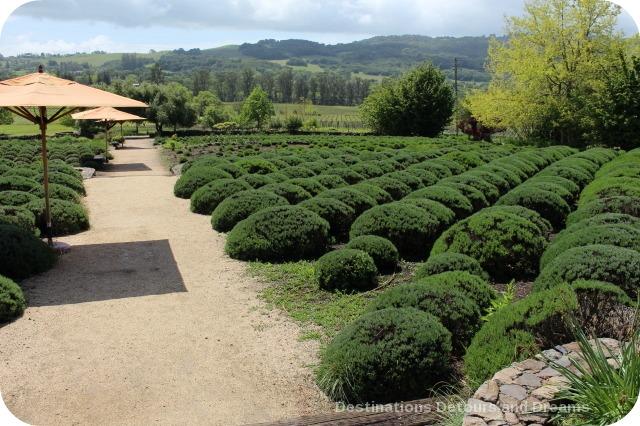 Lavender garden at Matanzas Creek Winery