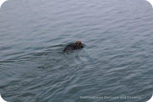 Sea otters in Morro Bay