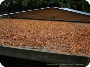 Fermented cacao beans drying in the sun