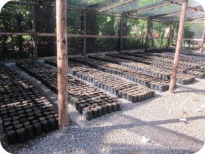Making an Impact in the Dominican Republic: cacao plantings