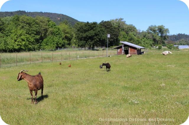 Animals at Truett Hurst winery in Dry Creek Valley
