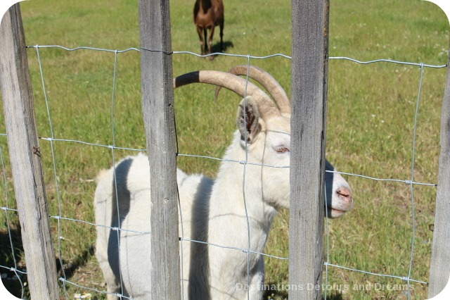 Goat at Truett Hurst winery