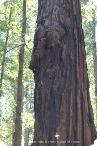 Burl on redwood tree in Hendy Woods State Park, California