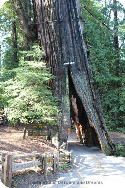 Shine Drive-Thru Tree, Avenue of the Giants, California