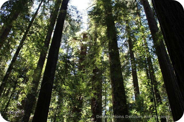 Redwoods in Hendy Woods State Park, California