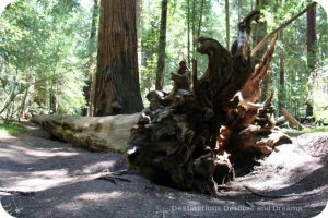 Roots of a fallen tree in Hendy Woods State Park, California