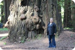 Avenue of the Giants redwood