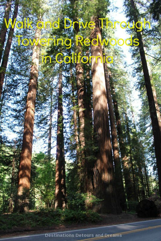 Walk and Drive Through Towering Redwoods in California