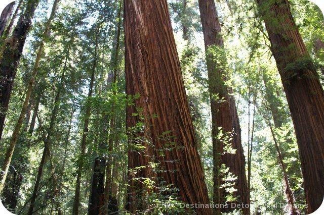 Walk and Drive Through Towering Redwoods