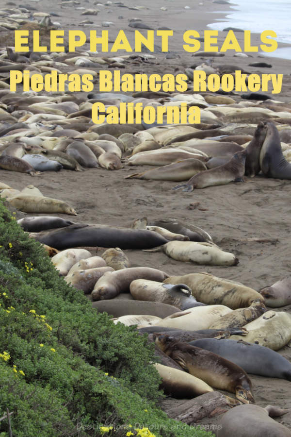 Viewing northern elephant seals at Piedras Blancas rookery along California's central coast #elephantseal #California #rookery #PiedrasBlancas