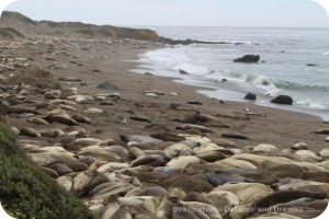Elephant Seals at Piedras Blancas