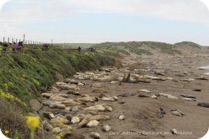 Elephant seals at Piedras Blancas