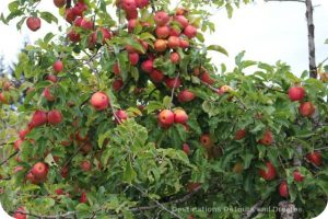 A Merry Time At Merridale Cidery: the apples