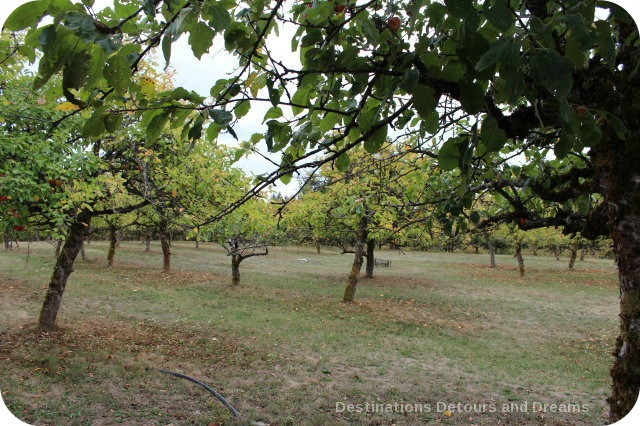 A Merry Time at Merridale Cidery: the orchard