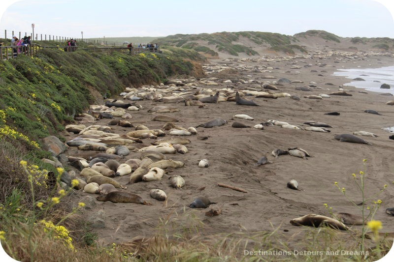 Elephant seals at Piedras Blancas Rookery, San Simeon, San Luis Obispo County, California