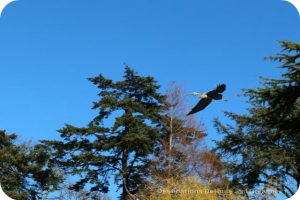 Blue heron at Beacon Hill Park, Victoria, British Columbia