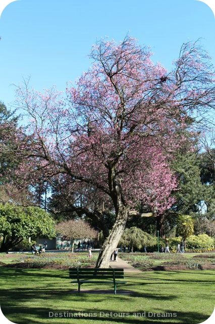 Cherry blossoms at Beacon Hill Park, Victoria, British Columbia