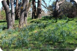 Daffodils blooming in Beacon Hill Park, Victoria, British Columbia