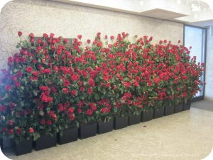 Art in Bloom: a floral display inspired by art at the Winnipeg Art Gallery: row of roses outside the gallery
