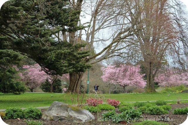 Cherry Blossom Time in The Garden City, Victoria, British Columbia - Beacon Hill Park