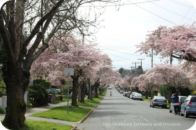 Cherry blossom time in Victoria, British Columbia attracts photographers