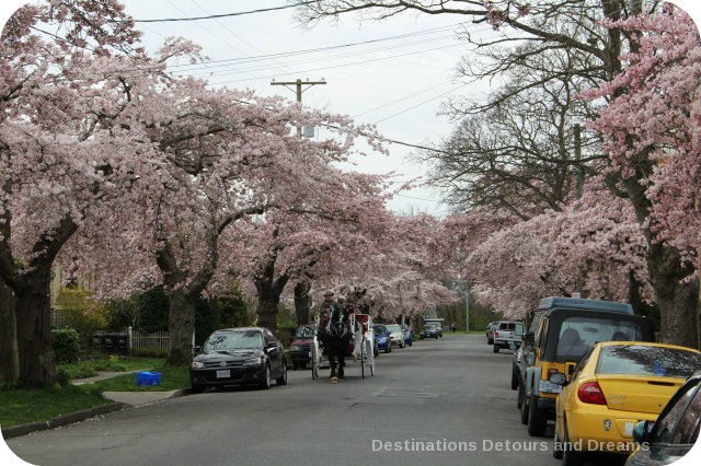 Cherry blossoms on South Turner Street, Victoria, British Columbia