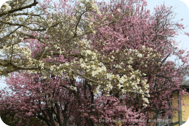 Magnolias and cherry blossoms, Victoria British Columbia