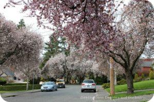 Cherry blossoms in Victoria, British Columbia