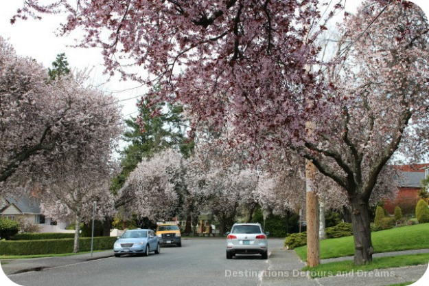 Cherry blossoms in Victoria, British Columbia