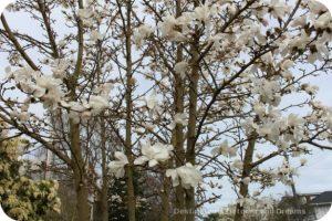Magnolia blooms in Victoria, British Columbia