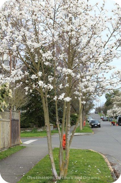 Magnolia blossoms on Linden Street, Victoria, British Columbia
