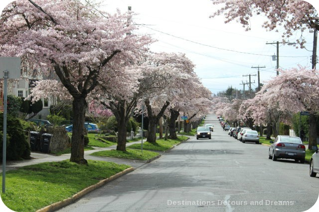 Cherry blossoms on Moss Street, Victoria, British Columbia