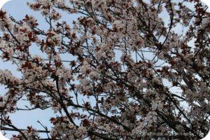 Cherry blossom time in The Garden City, Victoria, British Columbia