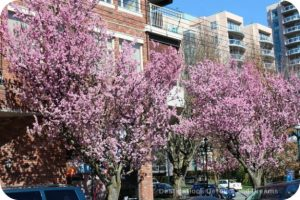 Blossoms on View Street, Victoria, British Columbia